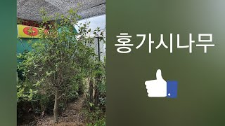 홍가시나무-신라조경농원