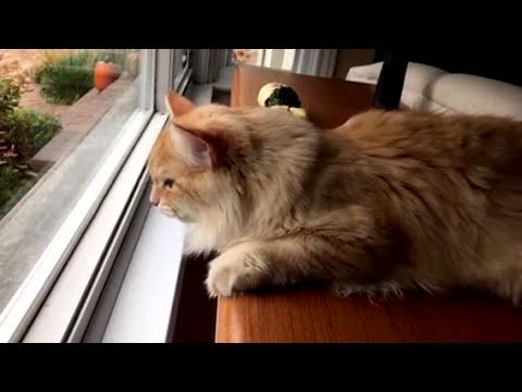 Siberian Cat Chirping