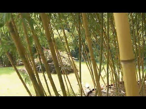 Pflegeleicht Und Immergrun Das Bambus Paradies In Hohn Bei
