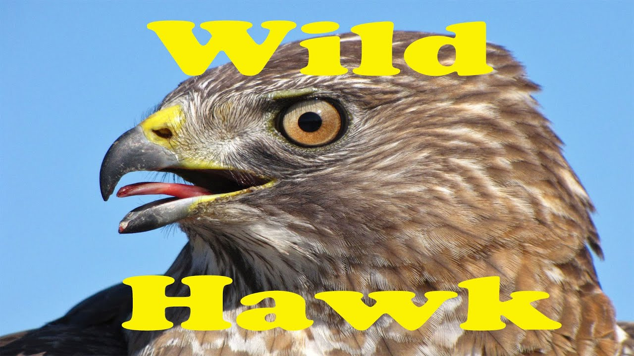 wild hawk birds of prey feeding in my backyard youtube