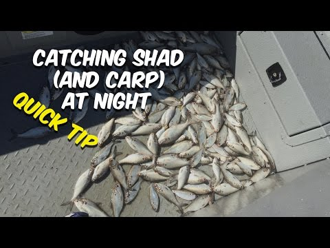 Where To Catch Shad (and Carp) At Night [Quick Tip]