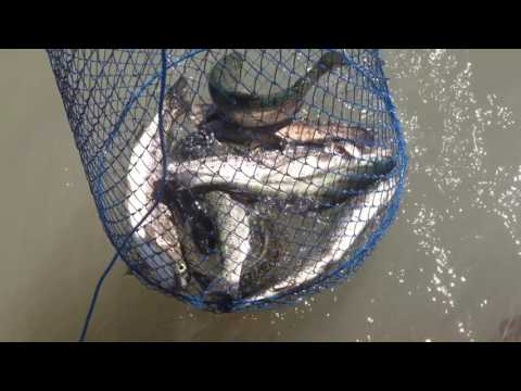 Mojave Narrows Trout Derby