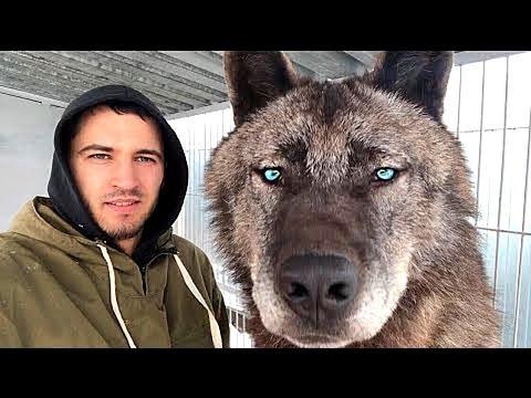 Вот как Выглядит Самый Большой Волк на Планете