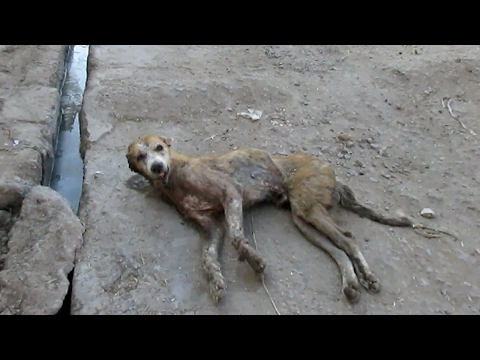 Hopeless wounded dog dying on side of street rescued.
