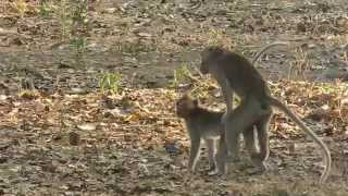 Animal Romance - Funny Monkey Making Love | Sweet Moment