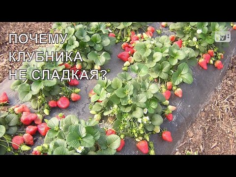 Почему клубника не сладкая   10 основных причин