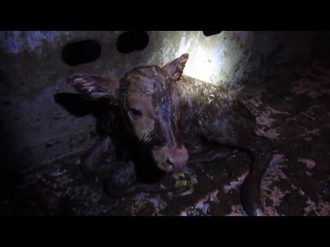 NEW Born CALF | BORN on a CATTLE TRAILER