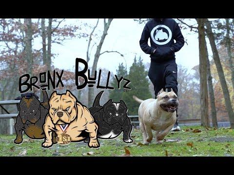 Bronx Bullyz Inc: American Bully Breeder | Bronx, NY
