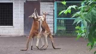男たちの熱い戦い。Kangaroo Fight!