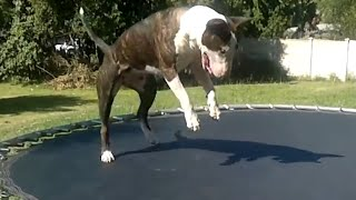 Bull Terrier Bouncing On Trampolin! Super Cute