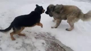 Только от жизни собачей- собака бывает кусачей