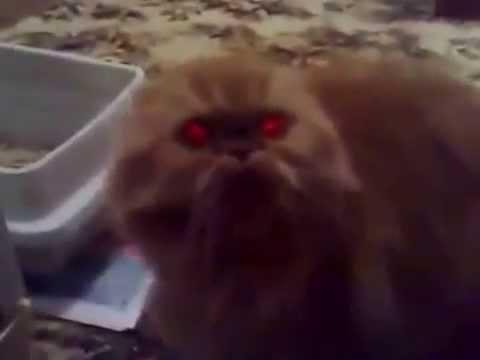 Сиамская кошка описание, фото, стандарт, характер