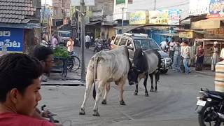 today ox fighting at narasaraopet 1