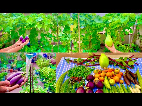 Awesome Summer Harvesting From My Rooftop Organic  Vegetable Garden/Harvesting Organic Vegetables