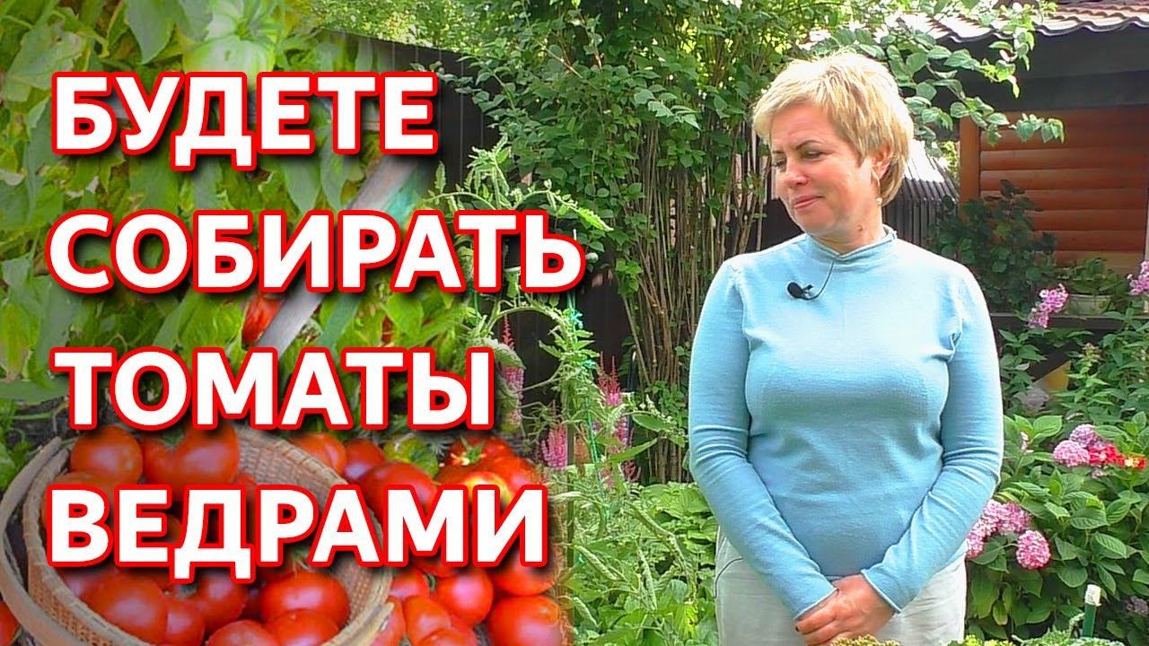 Срочно сделайте это для томатов в августе. Подкормка томатов. Защита томатов от фитофторы.