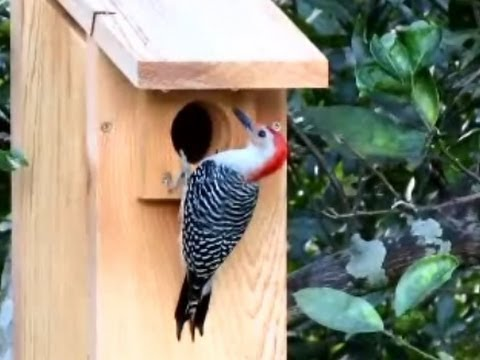 Red Bellied Woodpecker Goes House Hunting Youtube