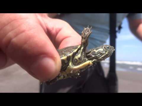 Sauvetage de Kiki la tortue - Ometepe Isla - Nicaragua