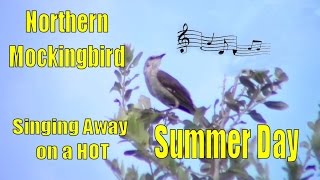 Northern Mockingbird Singing on Hot Summer Day
