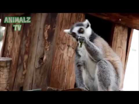 Funny Lemurs Eating in Tbilisi Zoo - Funny Zoo Animals