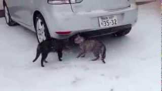 2014.2.19 阿寒湖にて 二匹の猫が縄張り争い 嗅ぎつけたカラスたちが観...
