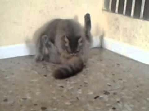 il gatto si lecca il pene