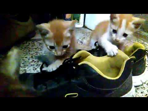 Cute Kittens Are Trying to Untie Shoe Lace