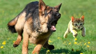 Dog Chasing Cats || Funny Dogs and Cats videos|| Funny dogs and cats compilation [HD]