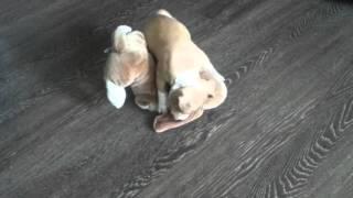 Дерзкое нападение питбуля на собаку(Собачонка., 2016-02-29T12:00:06.000Z)