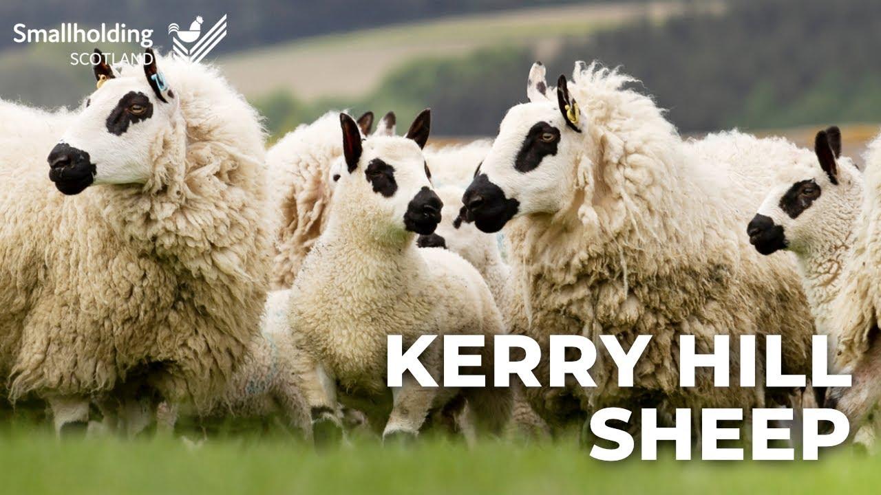 Kerry Hill Sheep - Livestock showcase - Scottish Smallholder Festival 2020