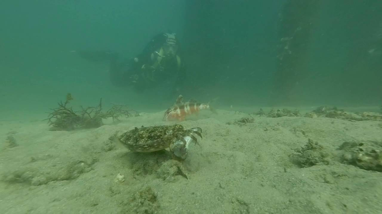 Hungry Cuttle Fish eating at Clifton Gardens Sydney - YouTube