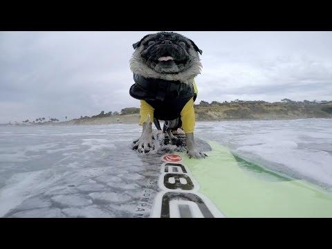 Surfing 15th Street in Del Mar | Brandy The Pug