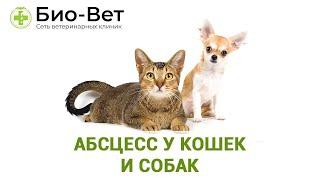 Абсцесс у кошек и собак. Ветеринарная клиника Био-Вет.