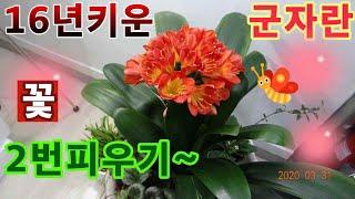 화초키우기 군자란에LED전구켜주니2번피네요~~^^