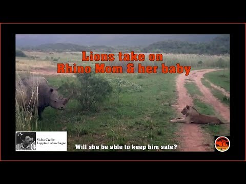 Lions take on Rhino Mom and her Baby
