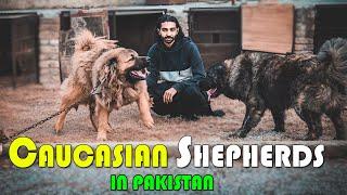 Caucasian Shepherd Dog Facts In Urdu & Hindi || Popular Dog Breeds