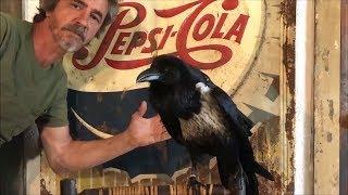 How Big is Pet Raven