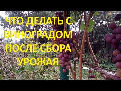 ТРИ полезных совета по ВИНОГРАДУ после сбора урожая в сентябре. Как выращивать виноград.