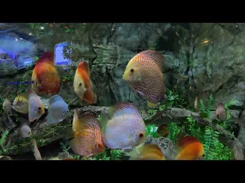 """Cá dĩa """"Ngũ sắc thần tiên"""" 🌈  Cận cảnh bể cá Dĩa khổng lôf"""