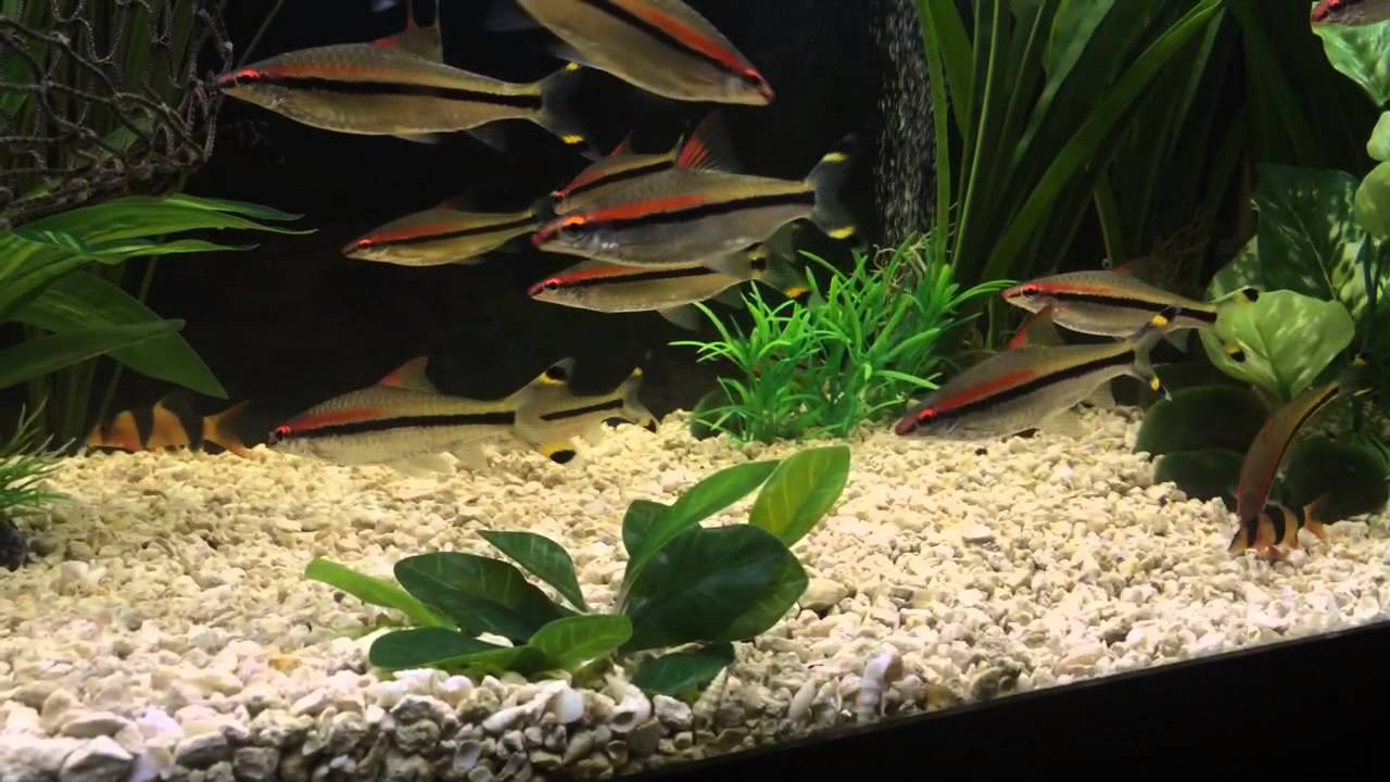 Freshwater aquarium fish eat snails - Clown Loaches Added To Eat Snails