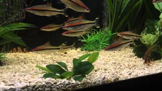Clown Loaches added to Eat Snails