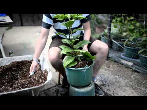 Carolina Reaper - how we do transplanting