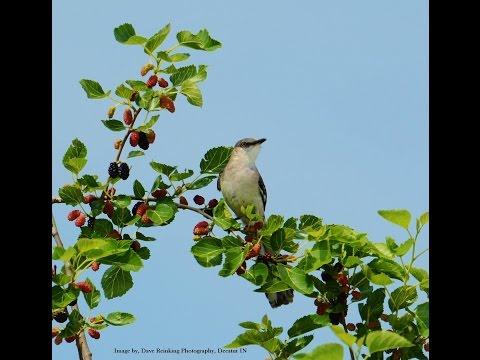 Various Sounds of a Northern Mockingbird