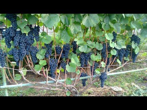 Хотите посадить вкусный виноград? Выбираем сорта!