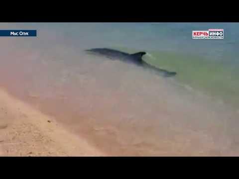 В сети появилось видео игры дельфинов возле берега на Опуке