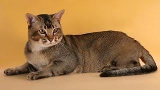 Азиатская Табби - кошка с необычным окрасом