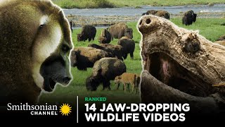 14 Jaw-Dropping Wildlife Videos | Smithsonian Channel