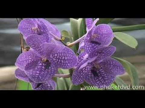 Phuket, Thailand - Attractions guide: Orchid Farm