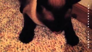 Сиамский кот мухоед | Siamese cats