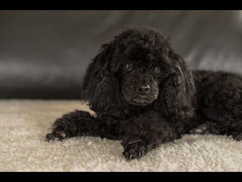 Health Concerns For Poodles
