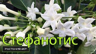 видео Стефанотис (мадагаскарский жасмин): можно ли держать флорибунду дома, у обильноцветущего желтеют листья, что делать, фото